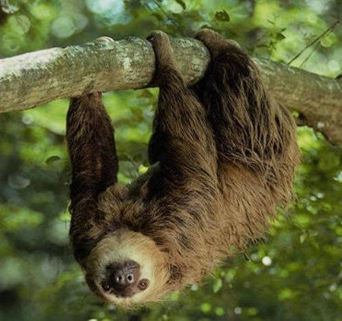 Какие животные самые ленивые во всем мире - конечно ленивцы!