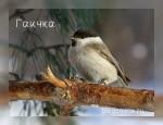 Птицы синицы - их разновидности
