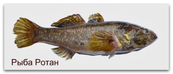 Рыба Ротан описание