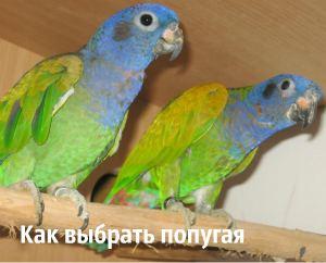 Планируете завести попугайчика - рассмотрим основные породы и сделаем выбор