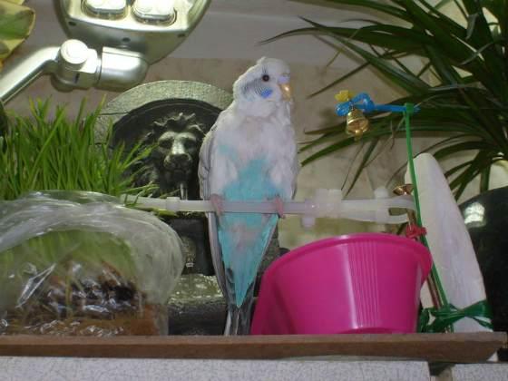 как быстро научить говорить попугая.