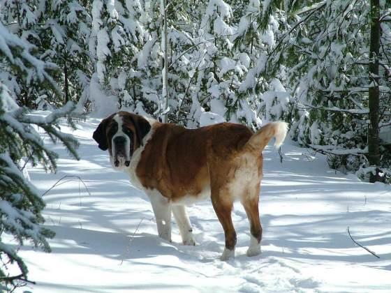 Сенбернар - самая отважная порода собак. Характеристика и описание