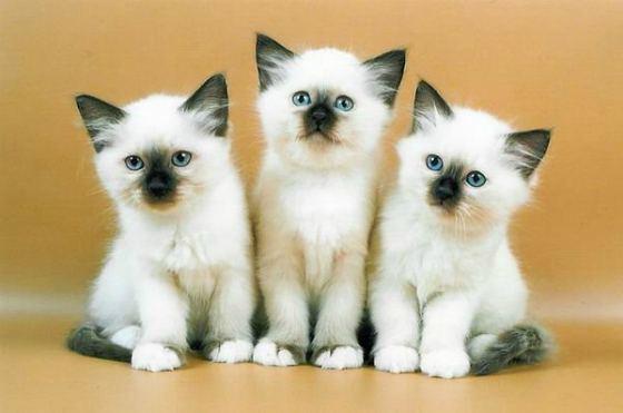 Священная Бирма - описание породы и характера бирманской кошки
