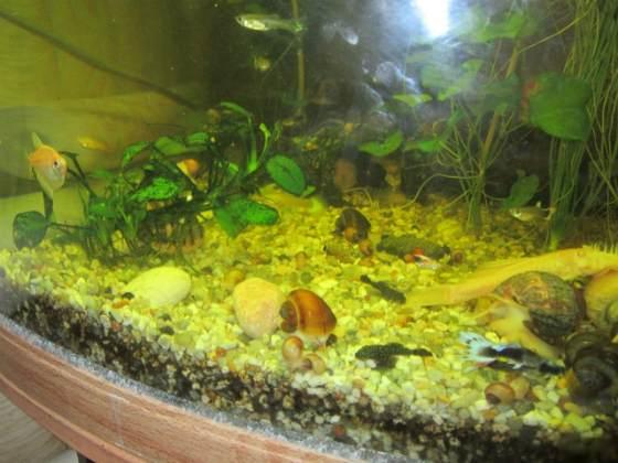 Как содержать и ухаживать за улиткой Ампулярией в аквариуме