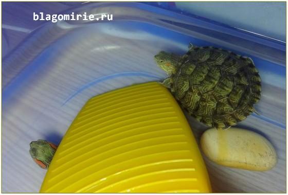 Как правильно ухаживать за красноухой черепахой в домашних условиях?