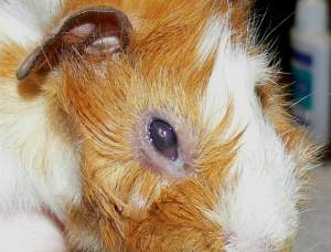 Болят глазки у свинок