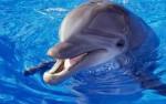 Дельфин животное