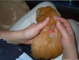 Какие бывают заболевания у морских свинок, как и чем их лечить