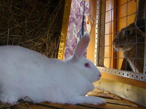 Белый великан кролики
