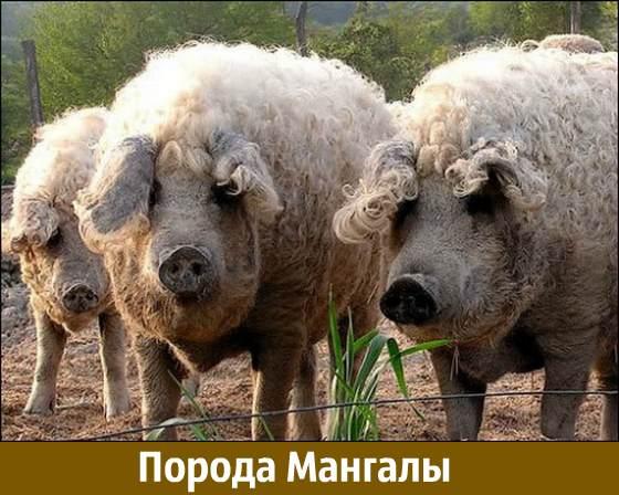 Порода свиней мангалы