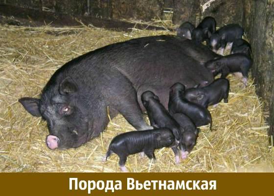 Порода свиней вьетнамская