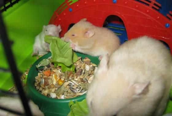 питание сирийских хомячков