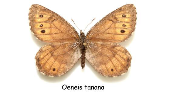 Бабочки аляски