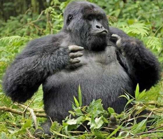 гориллы пьяницы