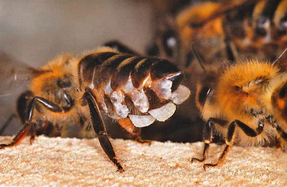 насекомые выделяют