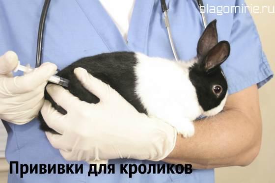 Прививки для кроликов