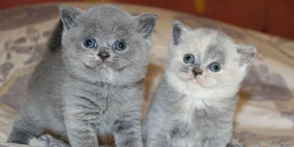 Описание породы и характера британской короткошерстной кошки