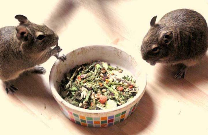 Содержание и уход за чилийской белкой Дегу: советы хозяевам питомца