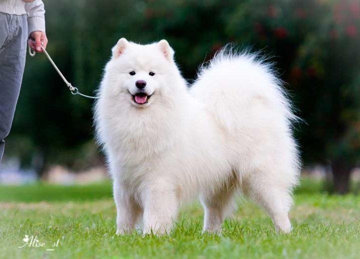 Самоедская лайка - характеристики породы, характер и особенности ухода за собакой