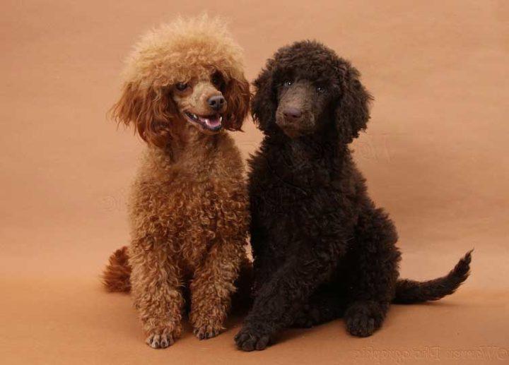 Игрушка может ожить: описание породы собачки Той-пудель, характер и особенности дрессировки