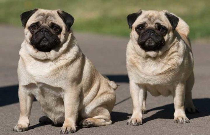 Особенности характера и поведения Мопсов, уход за собакой и характеристики породы