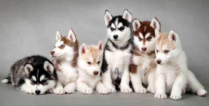 Милые непоседы Хаски - особенности характера собаки и характеристики породы
