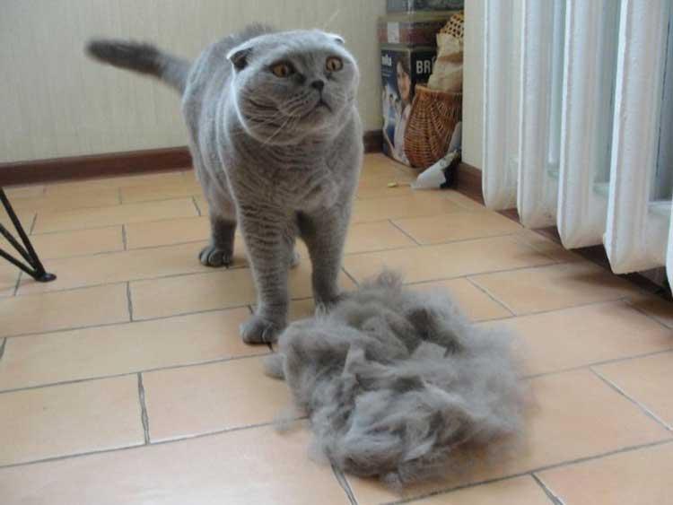 У британского кота сильно лезет шерсть