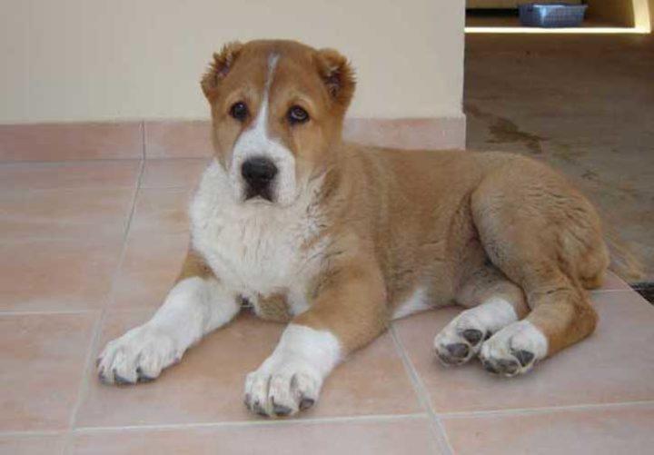 Собака Алабай - происхождение, характеристики породы, характер и особенности дрессировки
