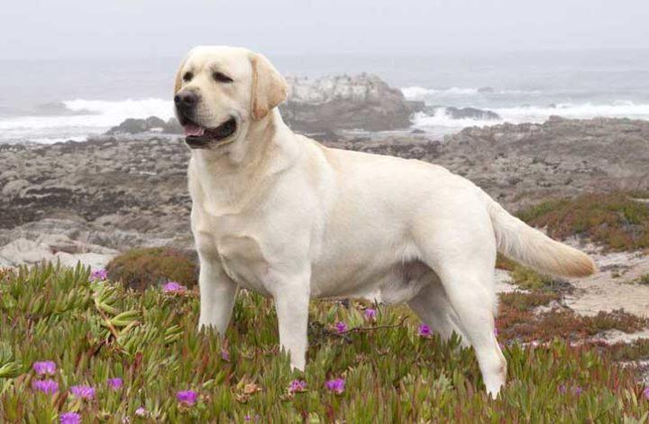 Характер собак породы Лабрадор-ретривер, особенности содержания и ухода