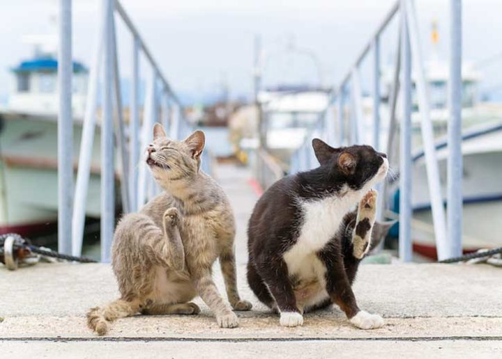 Как правильно лечить стригущий лишай у кошек - диагностика и проверенные средства