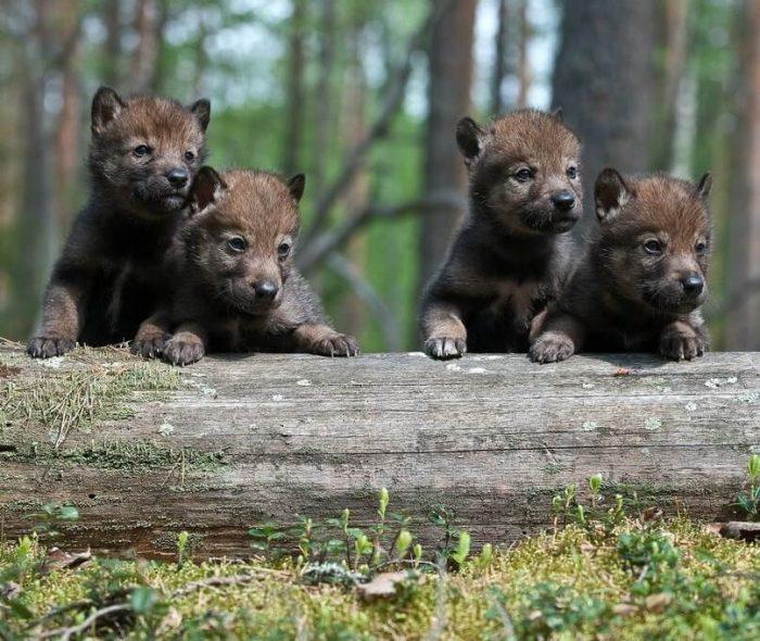 Что мы знаем о волках - потрясающе интересно!