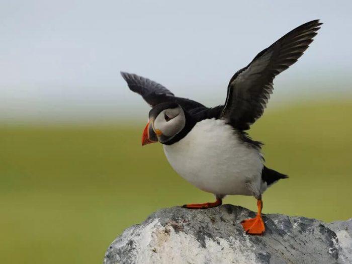 Атлантический тупик - интересная морская птица