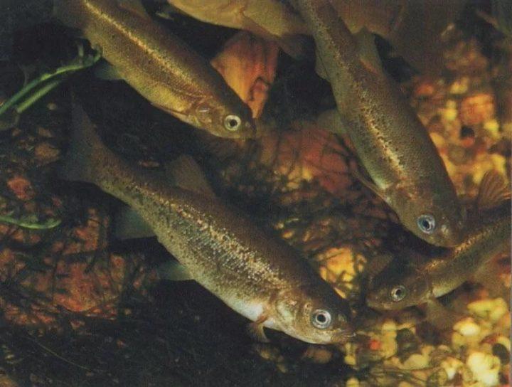 Рыбка гольян - всё о рыбалке