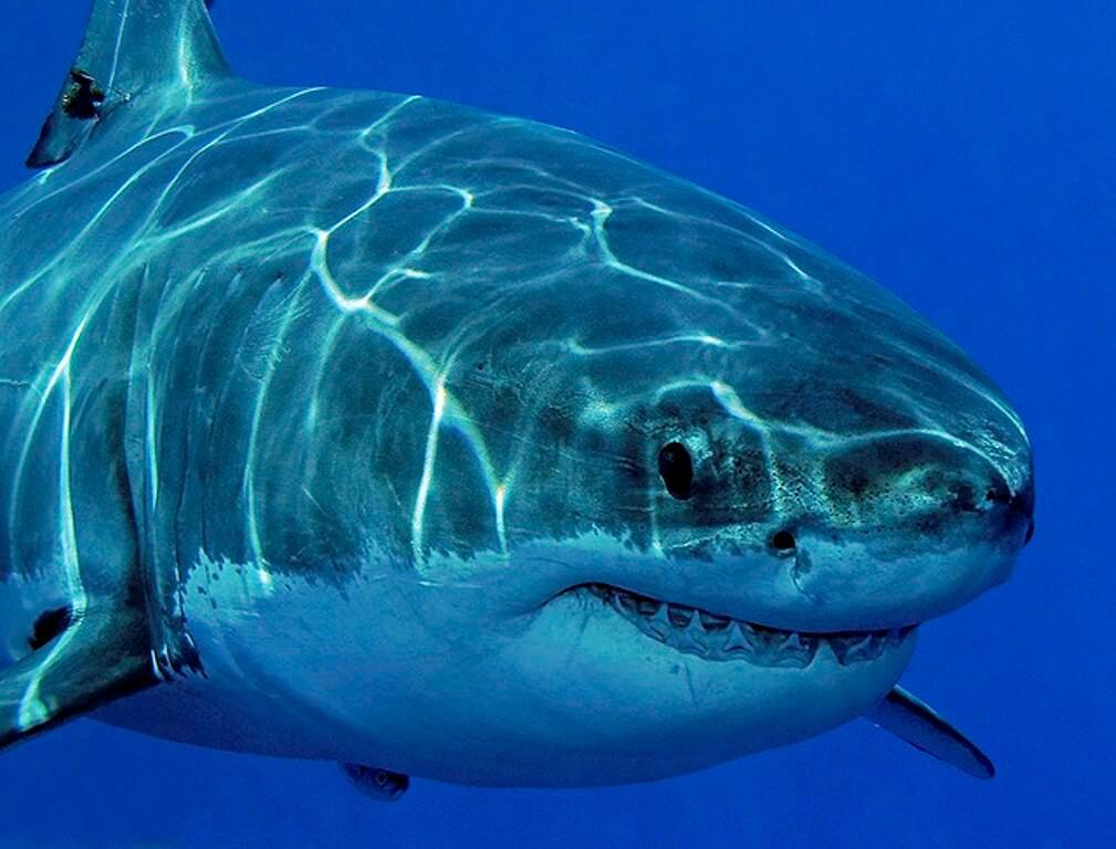 Акулы - белая смерть голубых вод