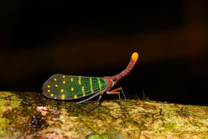 Фонарницы - тропические цикады