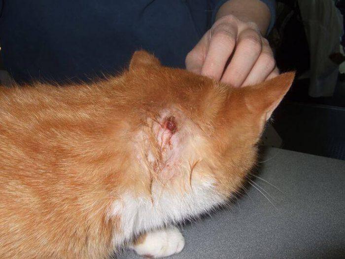 Гнойник, или абсцесс у кошки