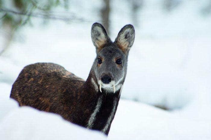 Кабарга – саблезубый олень с заячьими повадками