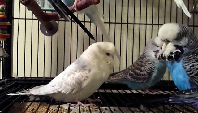 Как содержать попугая дома, чтобы не заболеть орнитозом?