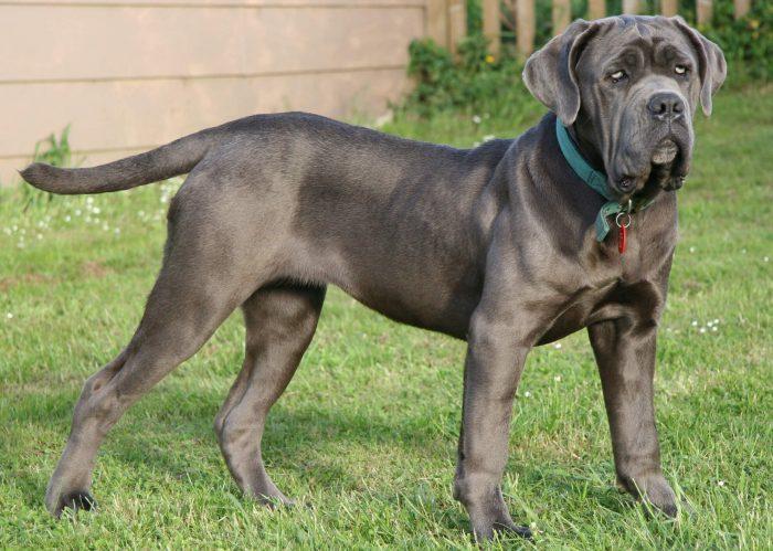 Крупные породы собак: советы и особенности кормления