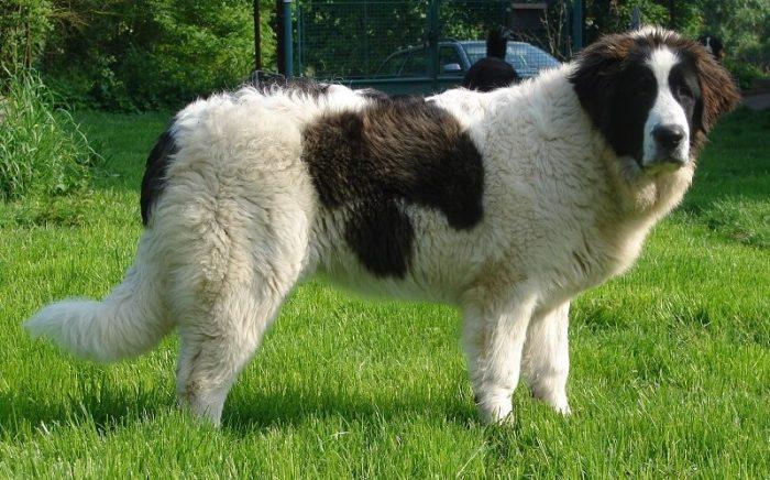 Ошибки при кормлении собак крупных пород