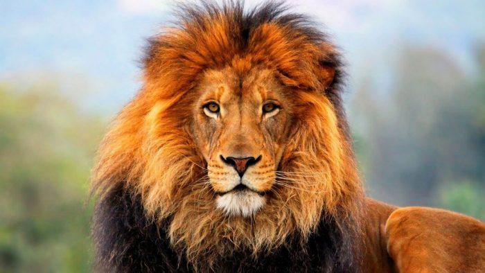 Лев - царь зверей