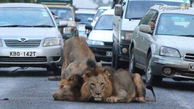 Львы устроили дорожную пробку