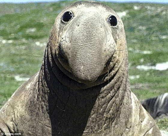 Морские слоны предпочитают длинные дистанции