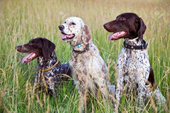 Обучение охотничьей собаки приему подачи