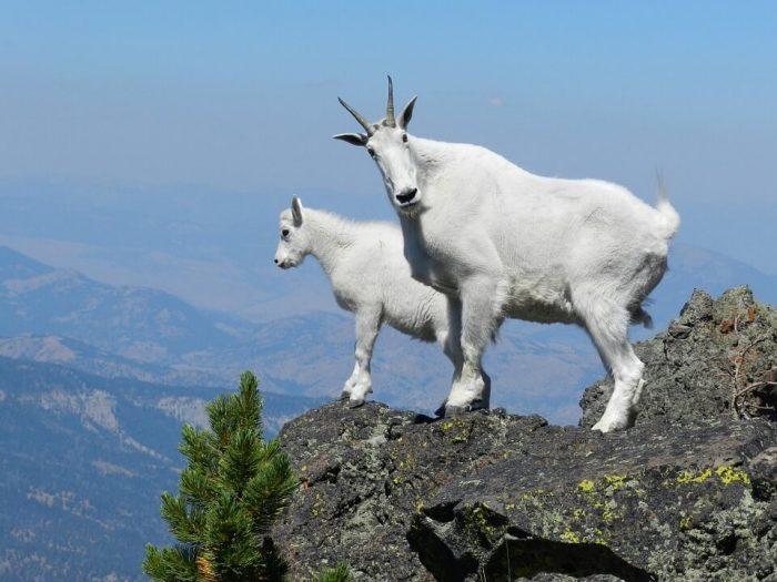 Снежные козы «экологические»