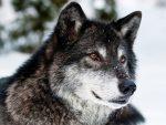 Сожитие волков-безсемейников и зверей
