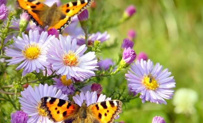 Цветник, привлекающий бабочек