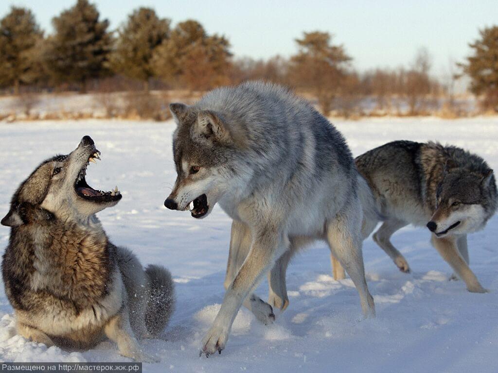 В этой статье, я расскажу вам о волках в разных уголках земли, например, в северной Америки, или Аляске, и так же я хочу рассказать вам, почему волки в лесу очень редко встречаются в сегодняшние дни, и почему их так мало сегодня, но в основном об их жизни. Волки, известные как одни из самих сильных хищников на земле, и так же из самых умных животных, т.к. они всегда охотятся стаей, и никогда не покидают ее, т.к. по одиночки им не завалить большую добычу, как например, бык, хотя они и могут завалить добычу больше 4 раза ихнего веса, поэтому они всегда охотятся стаей, потому что могут завалить взрослого, и здорового бизона, или какое то большое животное, хотя и эта охота влечет в себе очень большой риск погибнуть, т. к. бизоны водятся только в группах, как минимум по 6 или 7 бизонов, и защищают друг друга. Волки охотятся больше на старых, или раненых животных, следовательно ведется вопрос, как они могут ловить бизона, который примерно весит одну тону, и при том находится в своей стае, этот процесс очень длинный, он длится от 3 дней, и бывает даже длится, одну с половиной неделю. Сначала волки выбирают на какую добычу им лучше охотится, в большинстве случаев это молодые, или раненые бизоны, т.к. здорового бизона очень тяжело завалить, потому что он намного больше оказывает сопротивление, и не сдается, они начинают гнать стаю бизонов, чтобы увидеть кто отстает от стаи, и начинают охотятся на него, и не дают ему вернуться в стаю, чтобы он остался без защиты, и потом они изматывают его до того, когда он перестанет сопротивляться, и тогда, они его загрызают его своими острыми зубами, если им удалось его убит, то бизон хватит стае, почти на две неделе. Когда они охотятся на молодого бизона, то когда они начинают гнать стаю, то бизоны охраняют молодых, тем что сталкивают их в середину, чтобы волки их не достали, эта погоня длится очень долго, т.к. волки очень выносливы, но молодые бизоны тоже быстрые, и после долгой погони, больше устают чем волки, и отстают от стаи, в этот 