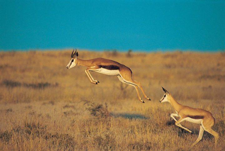 Южноафриканская антилопа Спрингбок