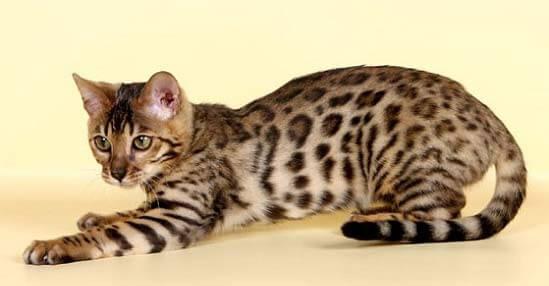 Бенгальские кошки и их особенности